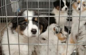 peludetes-cachorros-enjaulados